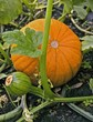 Pumpkins on the plant