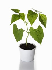 A bush bean plant growing in a flower pot