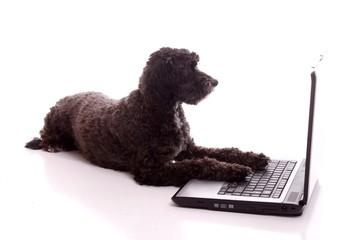 schwarzer Hund arbeitet am Laptop