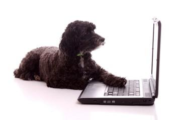 liegender schwarzer Hund schaut in Bildschirm