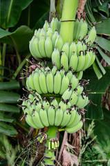 Young green banana on the tree