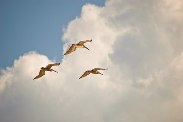 Pelicanos em formação no céu azul 2