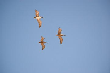 Pelicanos em formação no céu azul