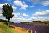 Field of lavender in Provence