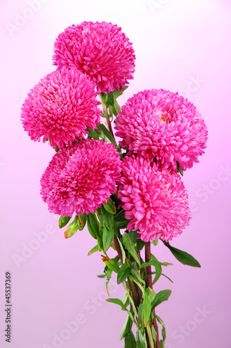 beautiful aster flowers, on pink background