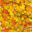 Herbstblätter, Herbst, Hintergrund, Blätter, Baumkrone, Ahorn