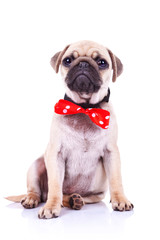 pug puppy dog with red bowtie