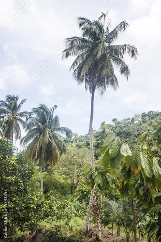 Palm Tree Rising From Jungle