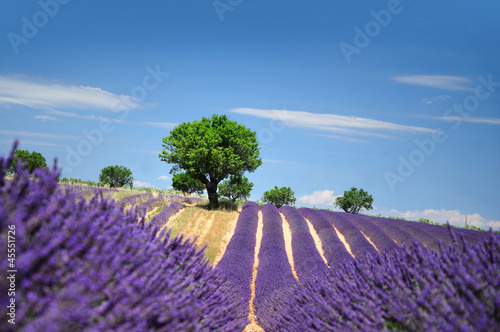 Lavender field. The plateau of Valensole in Provence - 45551726