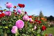 canvas print picture - bunte Dahlienblüte