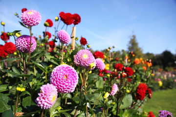 bunte Dahlienblüte