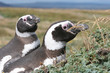 Pair of Magellan penguins, Punta Arenas, Chile