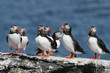 Flock of puffins stand on a rock, Iceland
