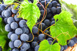 Ripe dark grapes with leaves, background