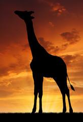 giraffe in the sunset