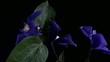 Fiore blu che insegue la luce