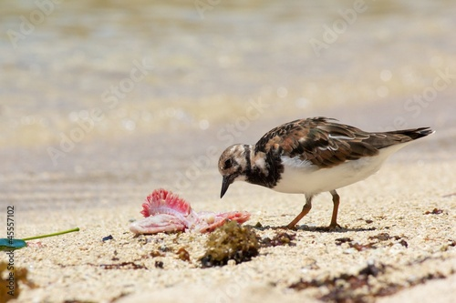 Cute sanderling seabird pecking away at a piece of seafood
