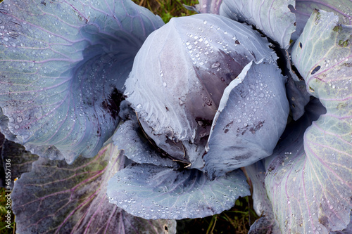 red cabbage in the garden