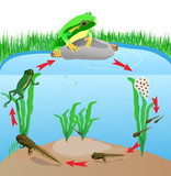 life cycle european tree frog. Vector