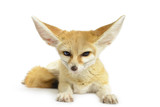 Fennec Fox (Vulpes zerda) isolated on white background.
