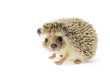 Hedgehog (erinaceus albiventris) isolated on white background. - 45557947