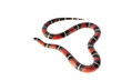 Nelsons Milksnake on White Background.