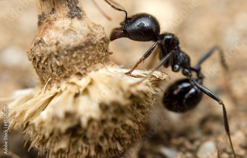 A black worker ant dragging vegetation to the colony