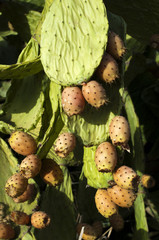 Cactus fruits