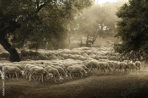 Fototapeten,schaf,landwirtschaft,herd,bauernhof