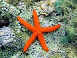 Comet sea star over anemones