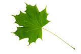 High Resolution green leaf of maple tree isolated on white