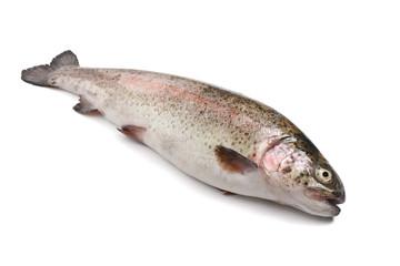 trota iridea - rainbow trout