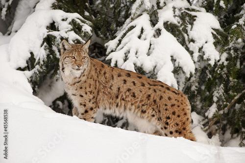 Fotobehang Lynx Luchs im Schnee