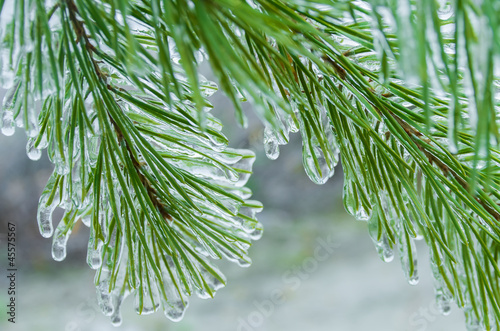 The branch of a Christmas tree covered with ice