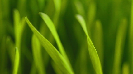 Green grass flapping in the wind close-up