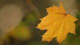 Close-up on a yellowed maple leaf
