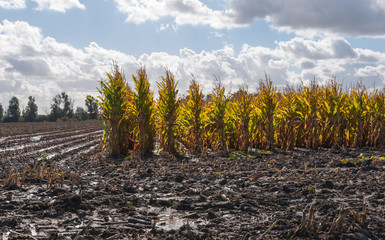 Silage maize in autumn sun