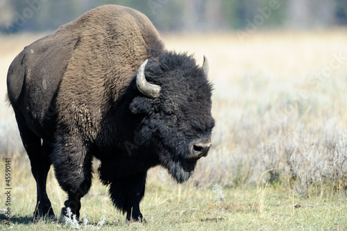 Aluminium Buffel Buffalo at Yellowstone