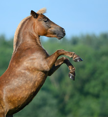 Rear sorrel highland pony