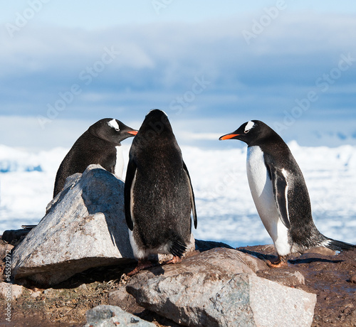 Adelie penguins having conversation