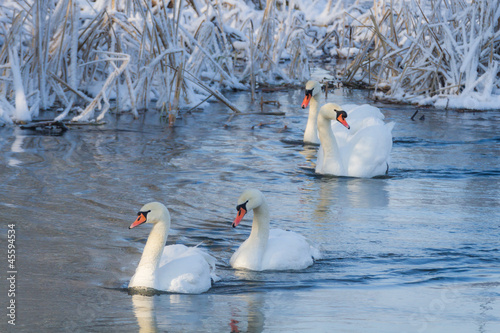 White swans in the river at cold winter