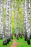 Fototapety First days of autumn in birch grove