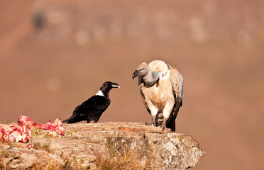 Cape Vulture and white necked raven