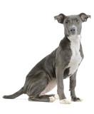 Hound/pitbull/weimaraner mix puppy isolated on white background poster