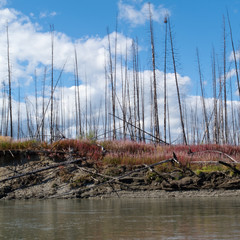 Burnt taiga on river bank central Yukon Territory