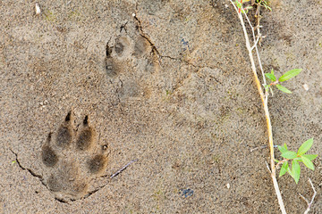 Wolf foot prints in soft mud and willow leaves