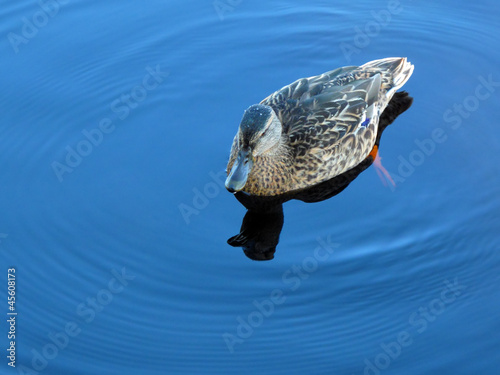 Duck on pure blue water. Bohemian Forest, EU.
