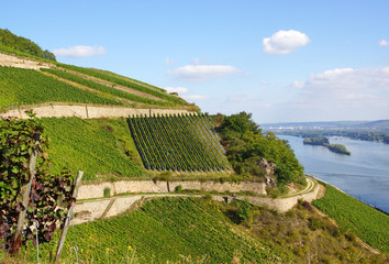 Weinberge am Rhein - Vineyard at rhine river