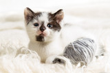 Closeup small kitten with hank on white carpet poster