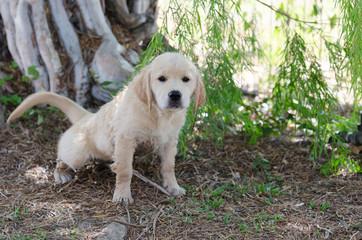 ゴールデンの子犬  トイレトレーニング